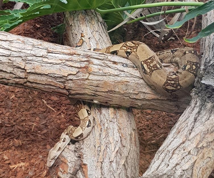 Nouveauté : les boas constrictors s'installent au Parc phœnix