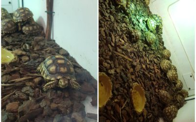 Naissance de tortues sillonnées