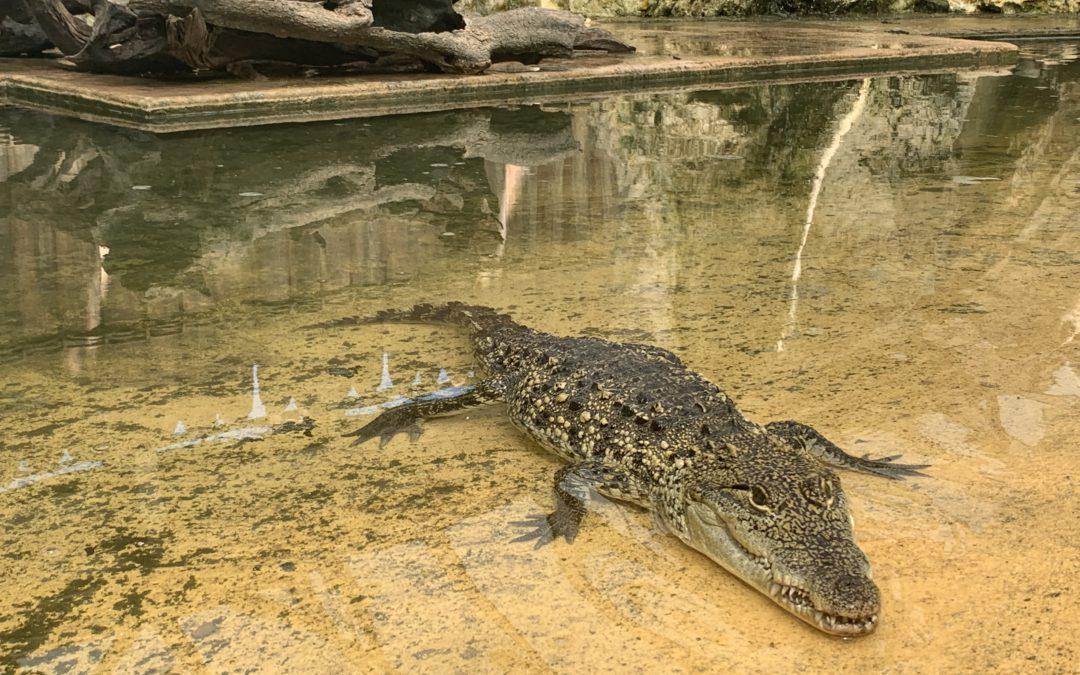 Arrivée de nouveaux crocodiles